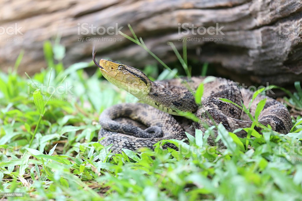 Ferdelance Pit Viper in the Rain Forest stock photo