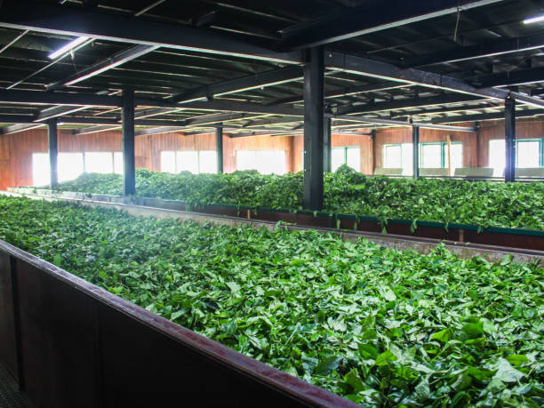 Fermentation of tea leaves, drying process in a factory in Sri Lanka stock photo