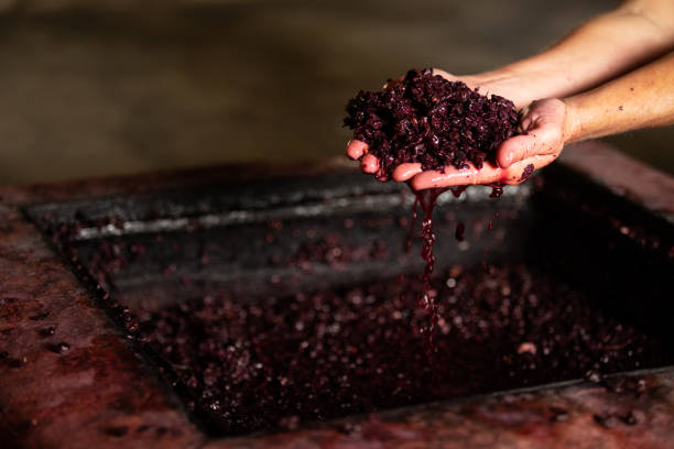 fermentation wine making in hands juice bunches fermentation wine making in hands juice grappes fermenting stock pictures, royalty-free photos & images