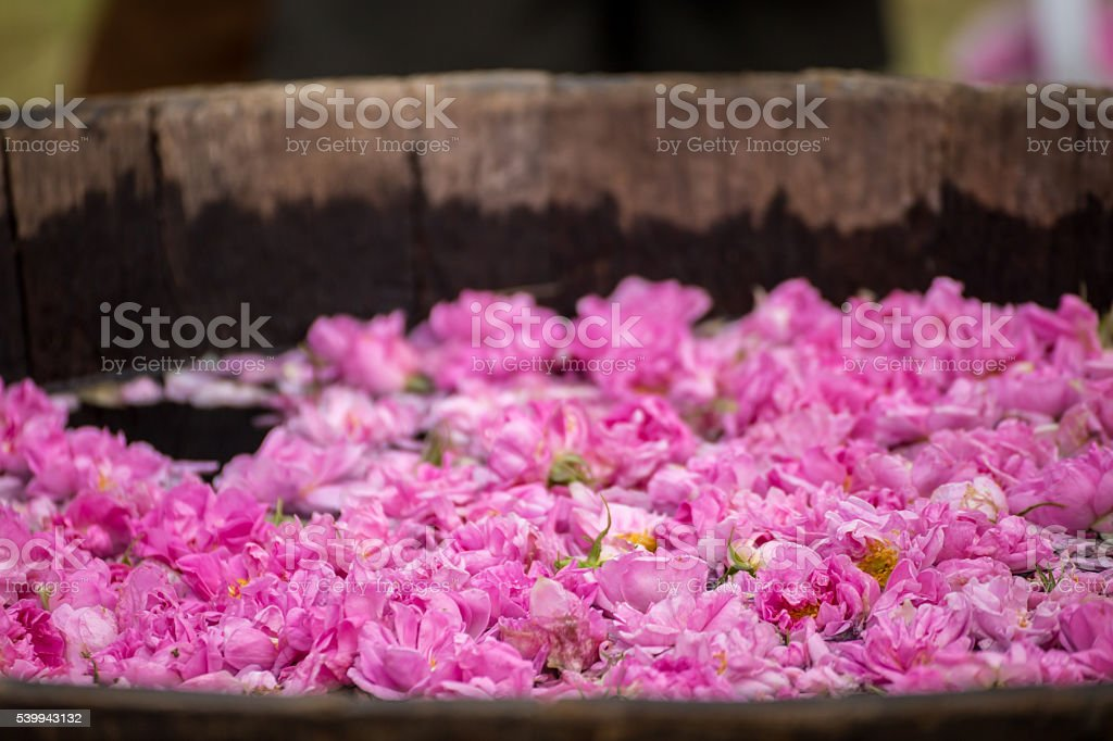 Fermenting rose water stock photo