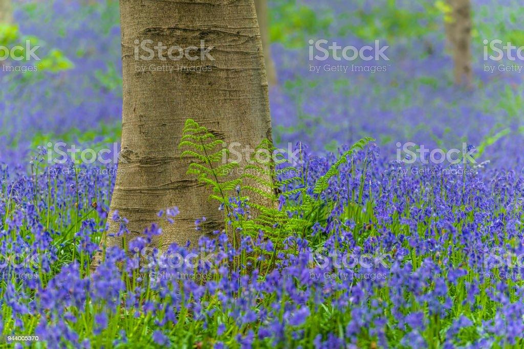 Varens en Bluebells in een beukenbos boom tijdens een lente ochtend foto