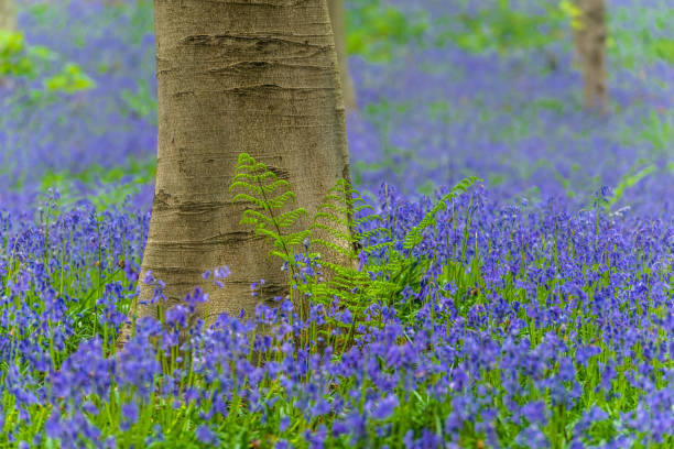 Fern and Bluebells in a Beech tree forest during a springtime morning stock photo