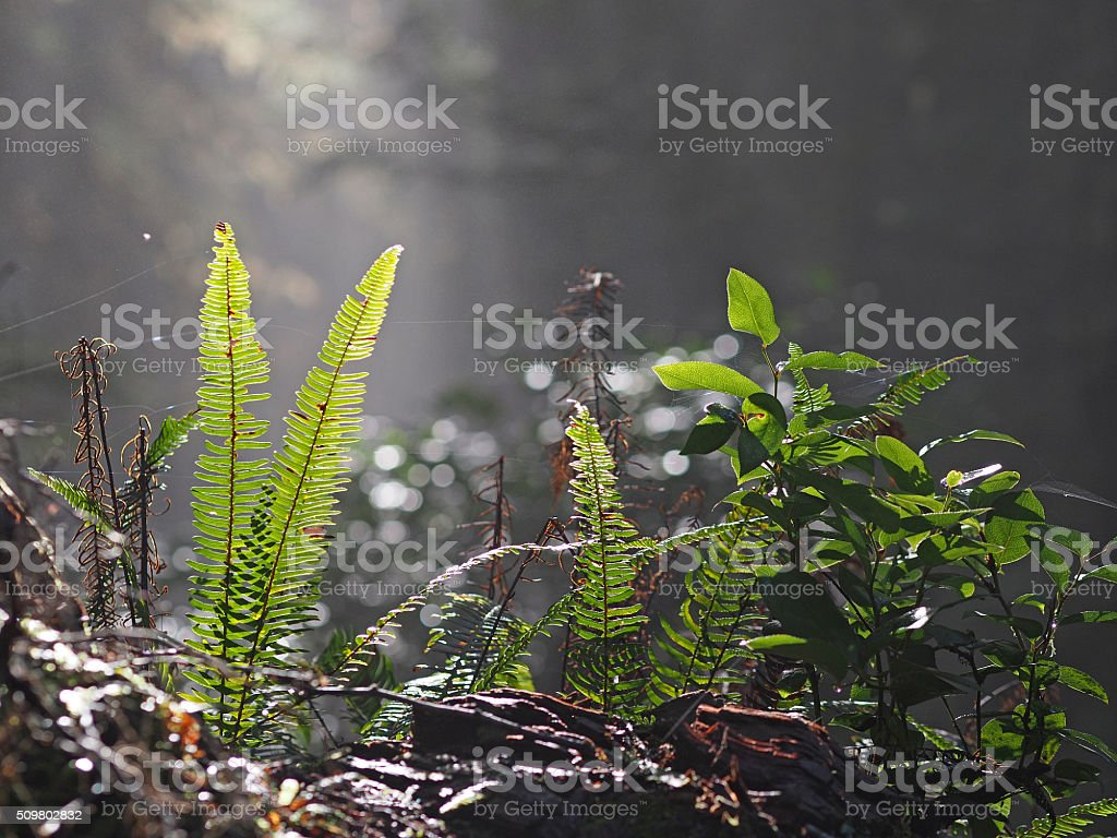 Fern and Other Undergrowth in a Forest in Tofino, Canada stock photo