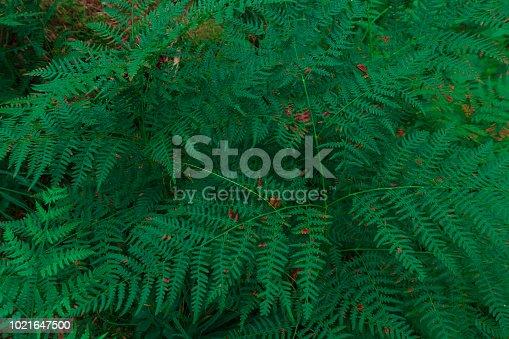 istock Fern Background 1021647500