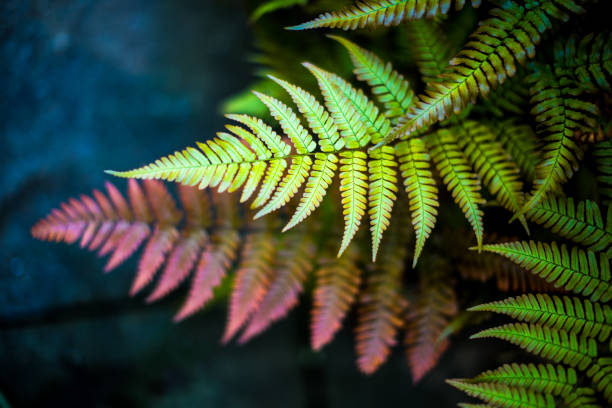 Fern Background Overhead view depicting selective focus close up of colorful green and red fern leaves. Room for copy space. fern stock pictures, royalty-free photos & images