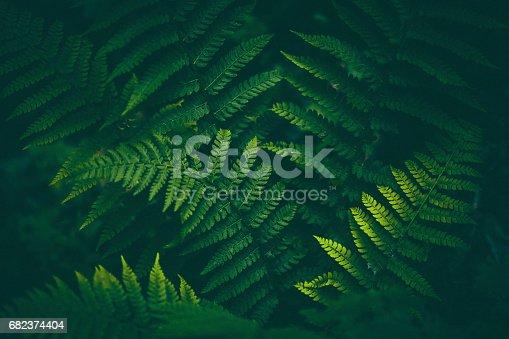 istock Fern Background 682374404