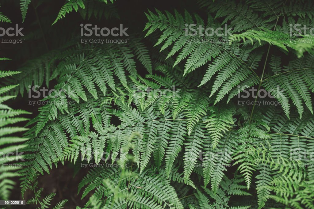 Fern background - Royalty-free Abstract Stock Photo