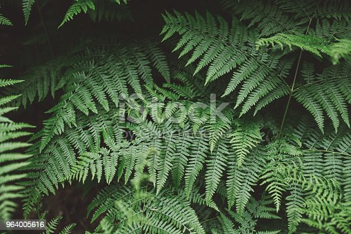682374404 istock photo Fern background 964005616