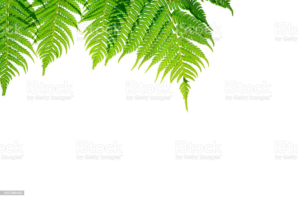 Fern branches hanging down. stock photo