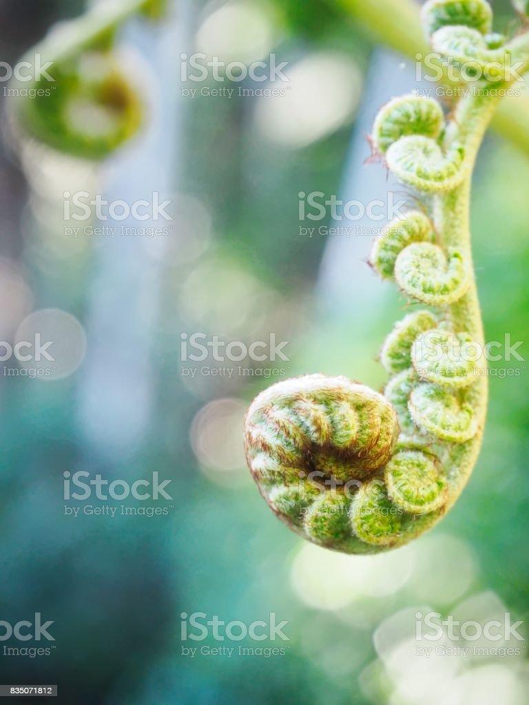 Fern Buds in Sunlight stock photo