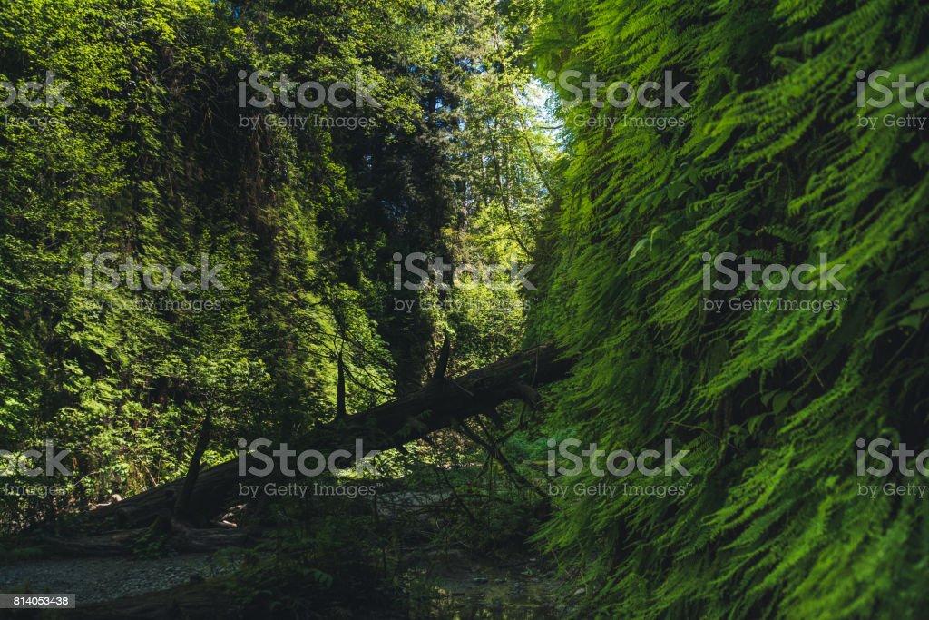 Fern Canyon, California, USA. stock photo