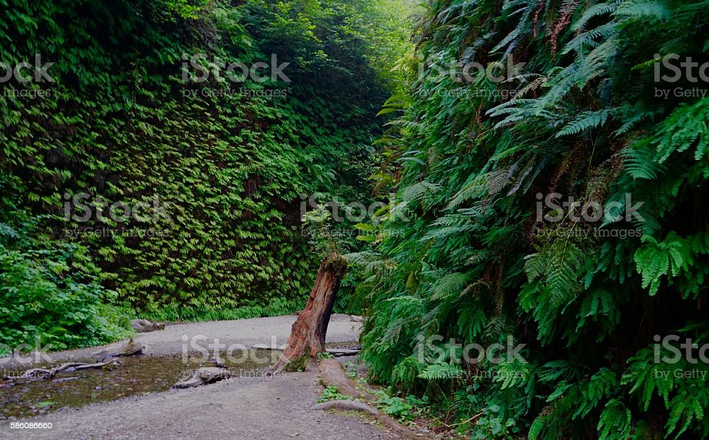 Fern Canyon Lush stock photo