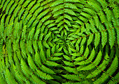 Concentric circles of growth on a New Zealand fern form a useful background pattern.