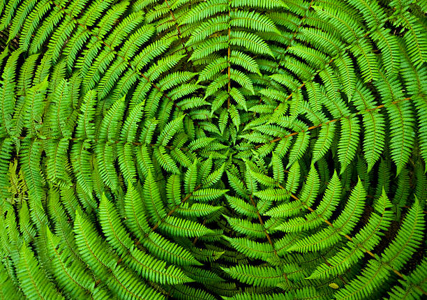 fern circle background - maori stock photos and pictures