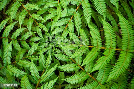 Centre of a fern, taken in New Zealand.