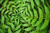 Centre of a fern, taken in New Zealand.