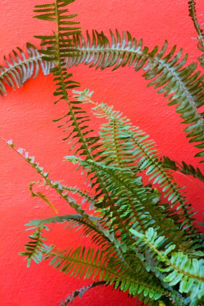 fern foliage devant un fond de mur rouge. fond tropical, concept d'été. fern foliage contexte. contexte élégant pour les cartes d'invitation et de voeux. - jungle menu photos et images de collection