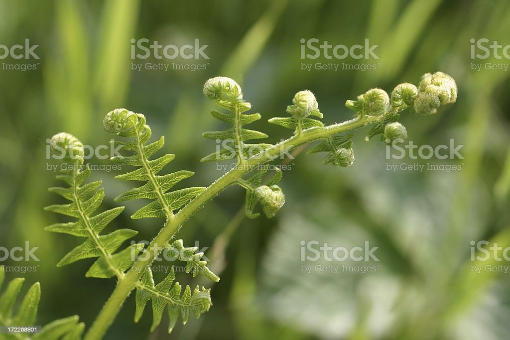 fern frond curling out in spring royalty-free stock photo