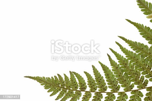 fern frond with extra white space