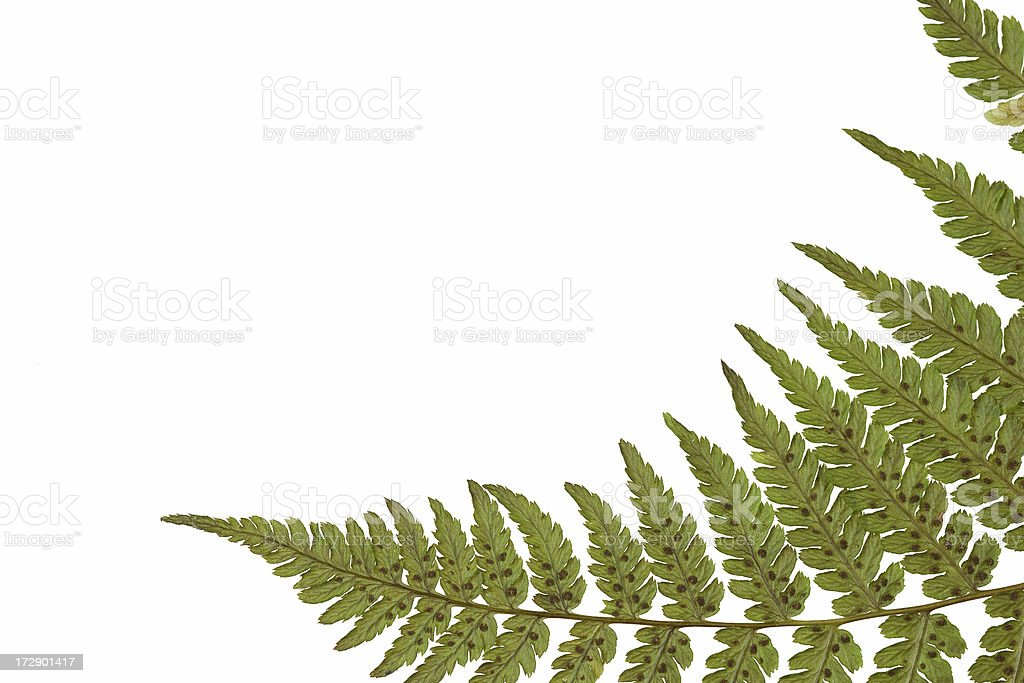 fern frond with extra white space stock photo