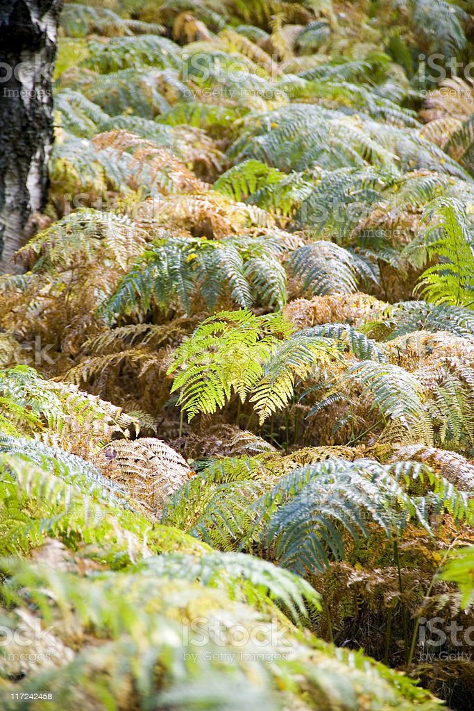 Fern fronds in woodland royalty-free stock photo