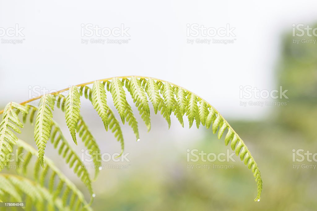 Fern fronds with raindrops stock photo