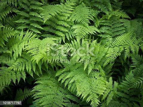 fern green vegetation background