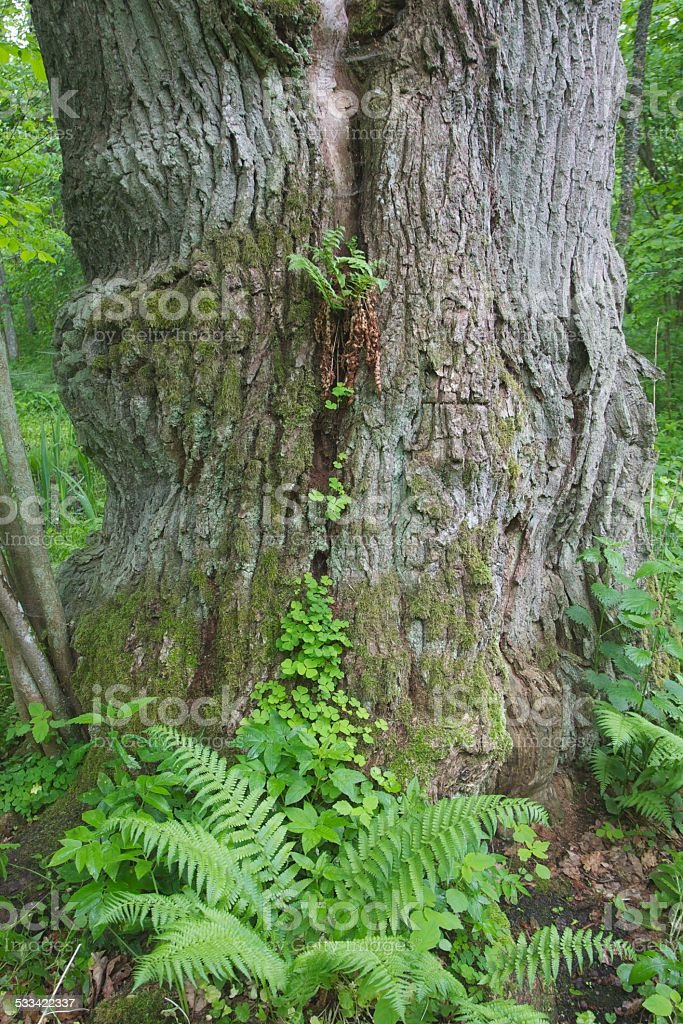 Fern growing on the oak tree stock photo