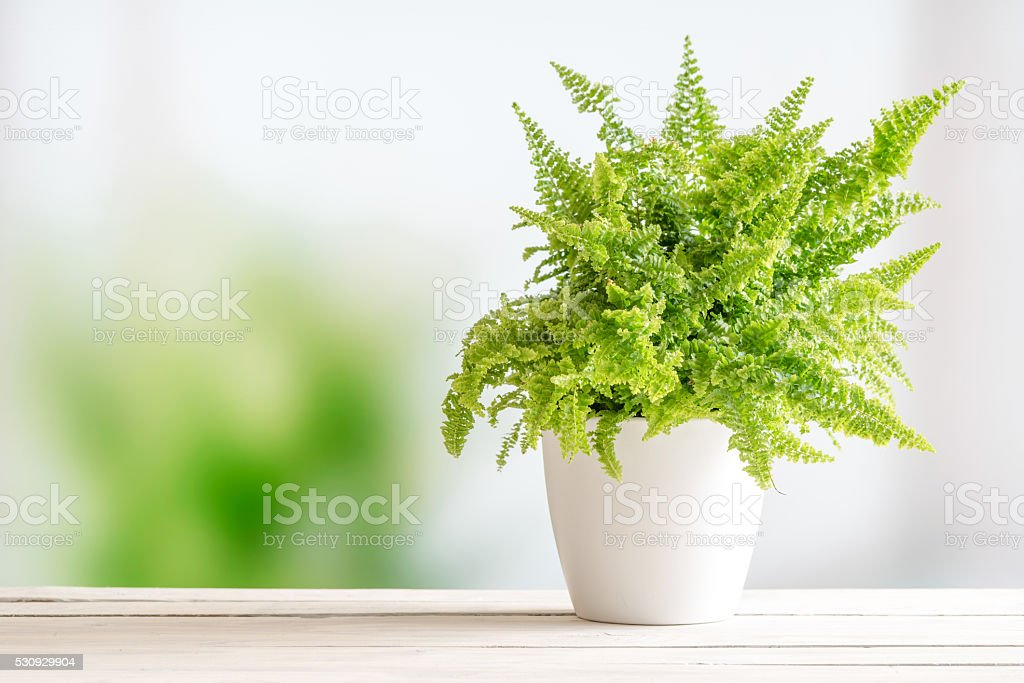 Fern in a white flowerpot stock photo