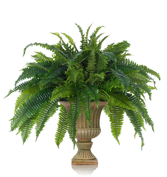 Fern in an Urn on a white background A luxurious fern plant in a classic fluted urn. Shot against a bright white background. There is a path which may be used to delete the reflection if desired. Extremely high quality faux flowers fern stock pictures, royalty-free photos & images