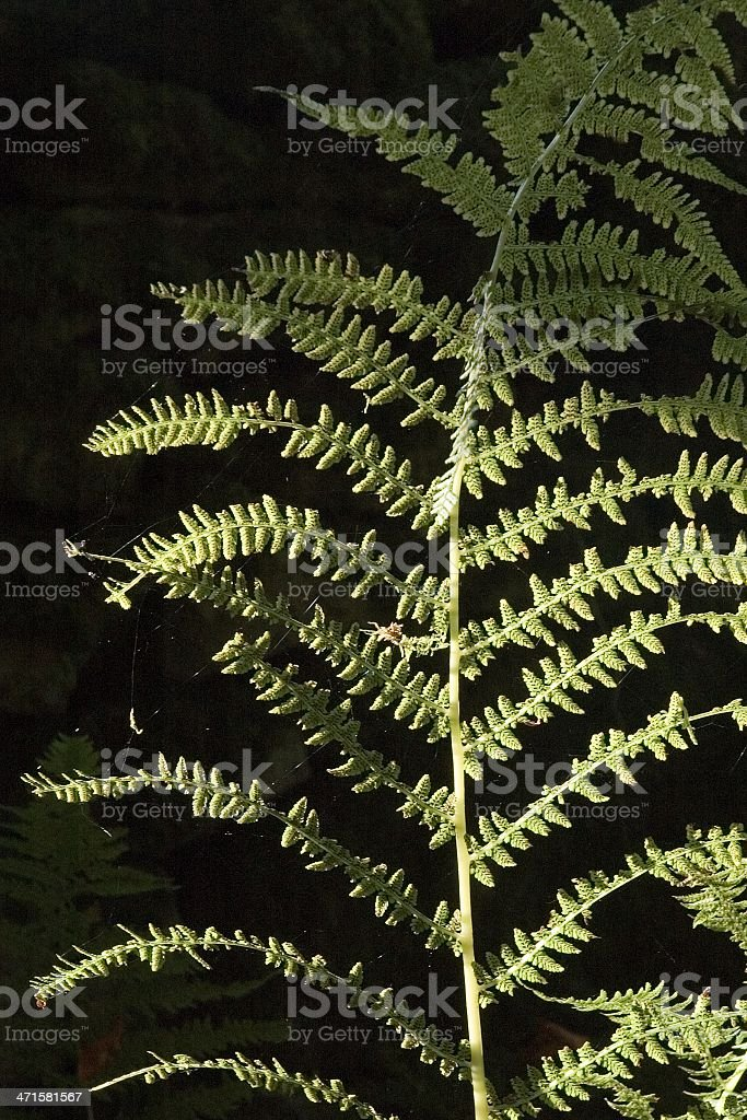 Fern in chiaroscuro royalty-free stock photo