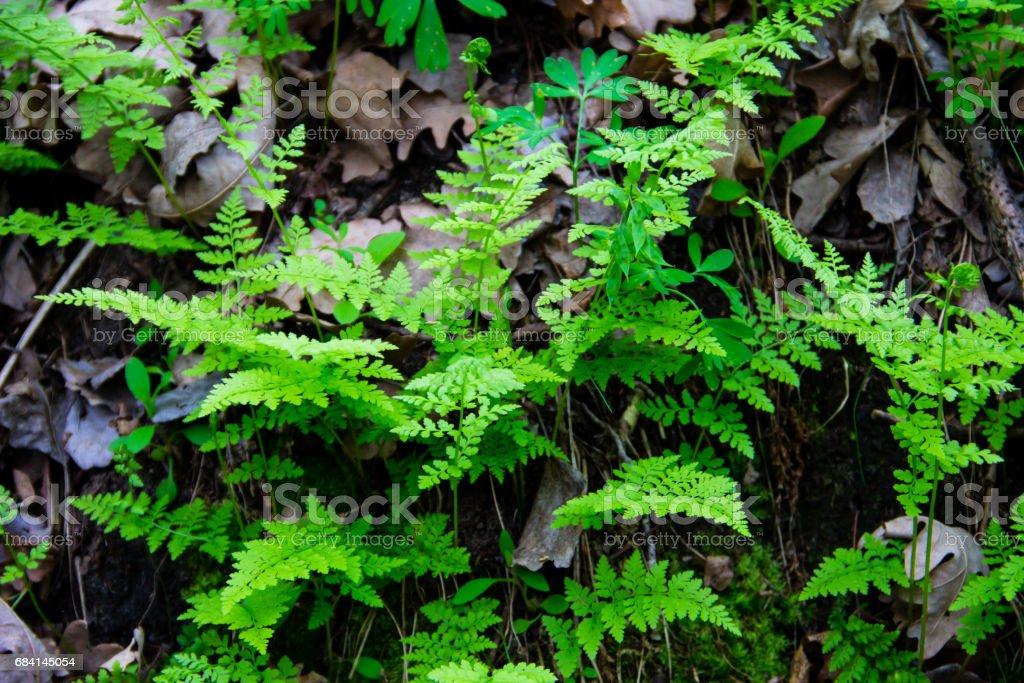 Fern in forest foto stock royalty-free