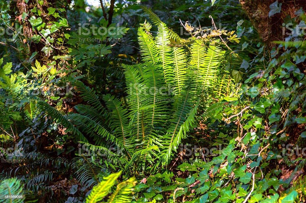 Fern in Pacific Northwest Rainforest stock photo