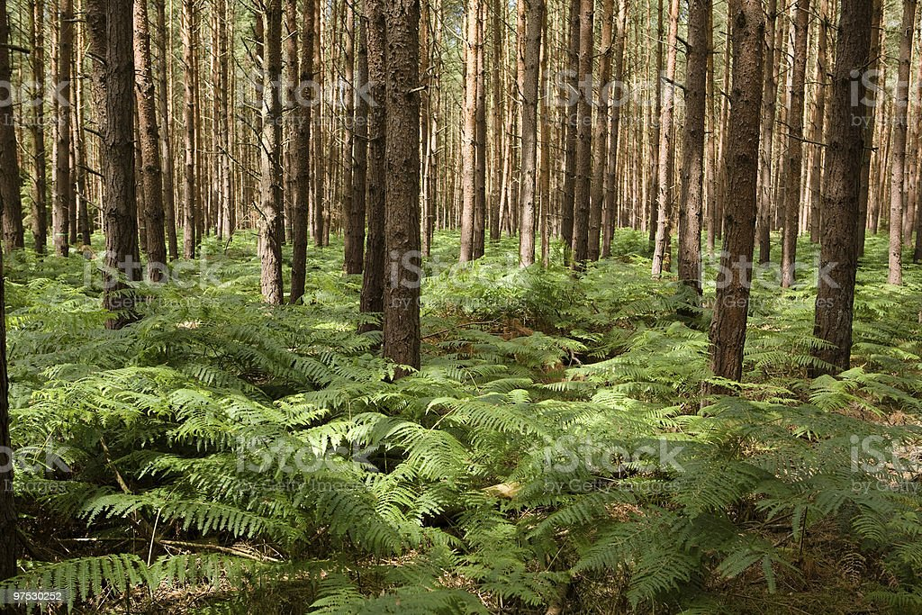 fern in pine forest royalty-free stock photo