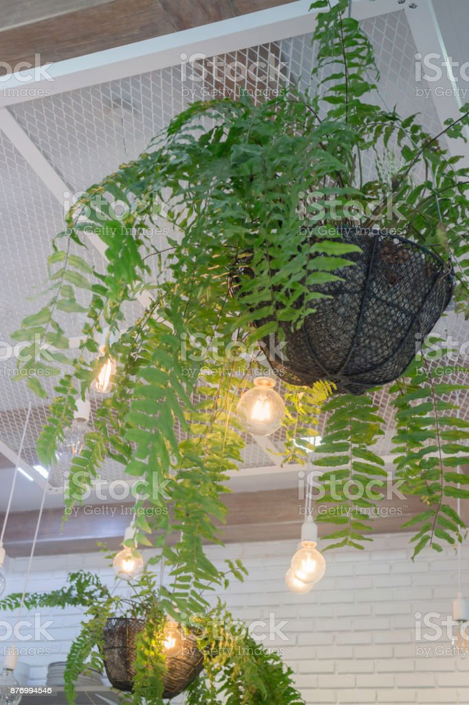 Fern In Plant Pot Hanging On Ceiling Stock Photo More Pictures Of