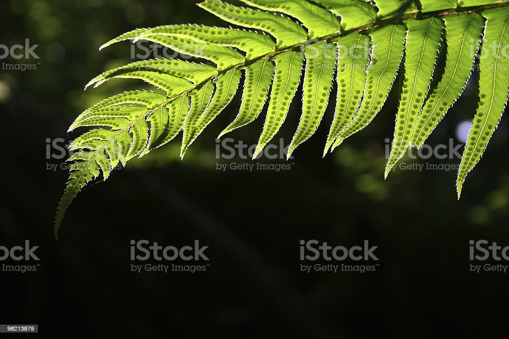 Fern in shadows. royalty-free stock photo