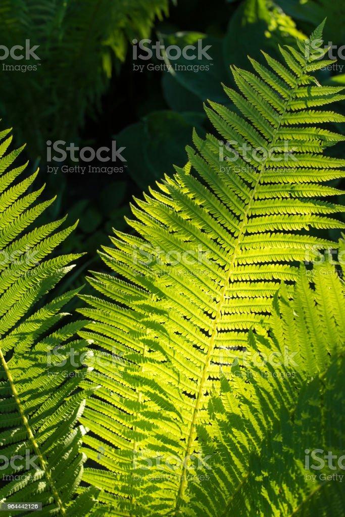 fern no jardim - Foto de stock de Botânica - Assunto royalty-free