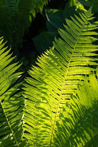 Foto de Fern No Jardim e mais fotos de stock de Botânica - Assunto