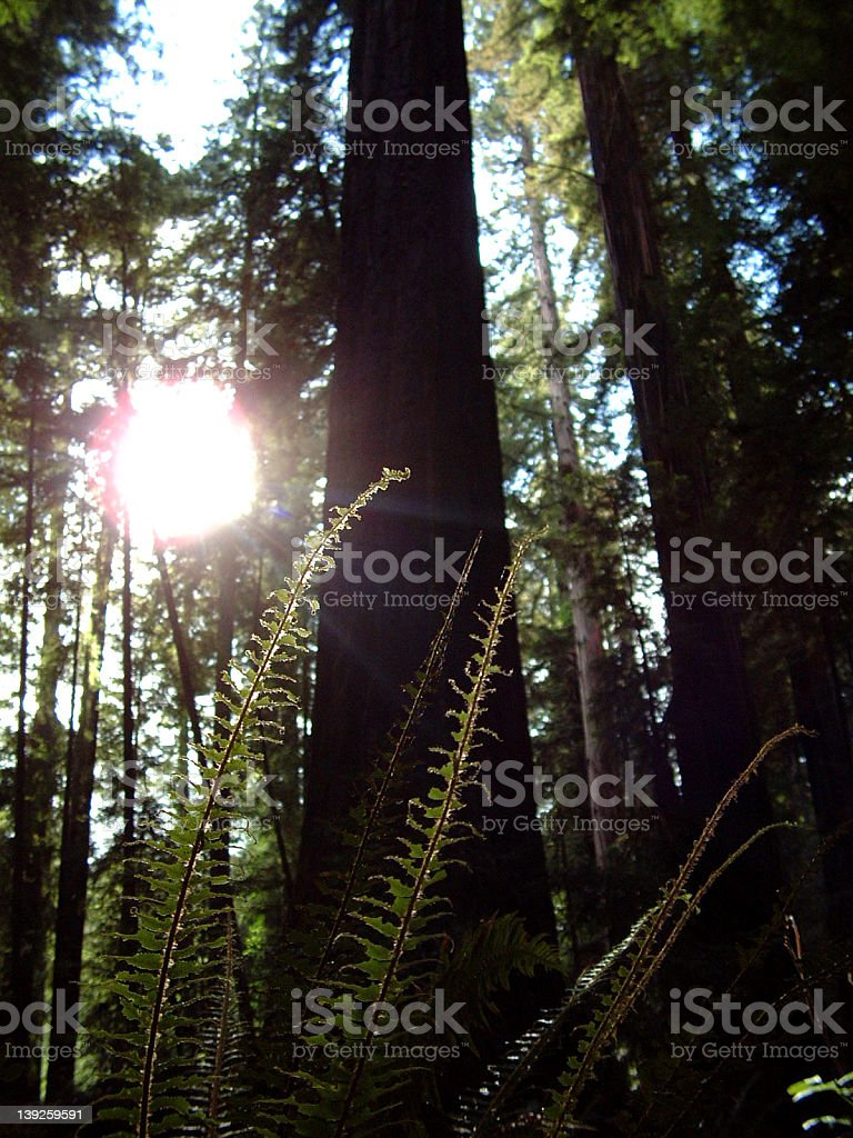 fern in the redwoods royalty-free stock photo