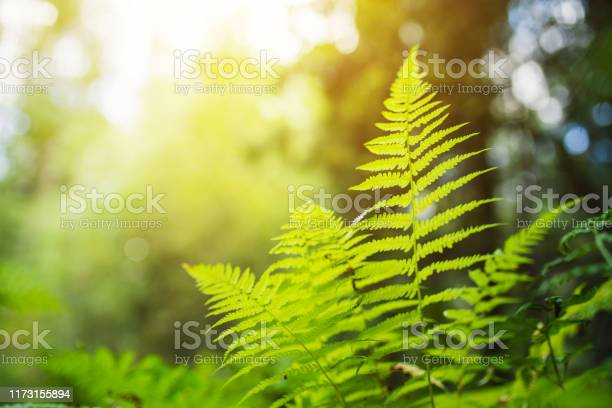 Photo of Fern in the woods