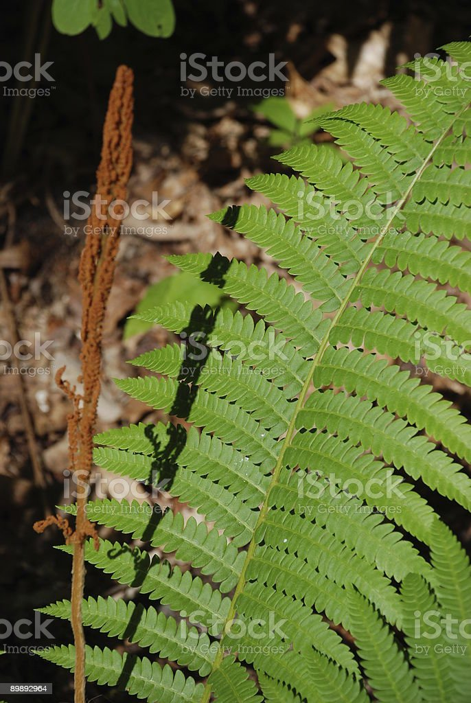 Fern in the woods royalty-free stock photo