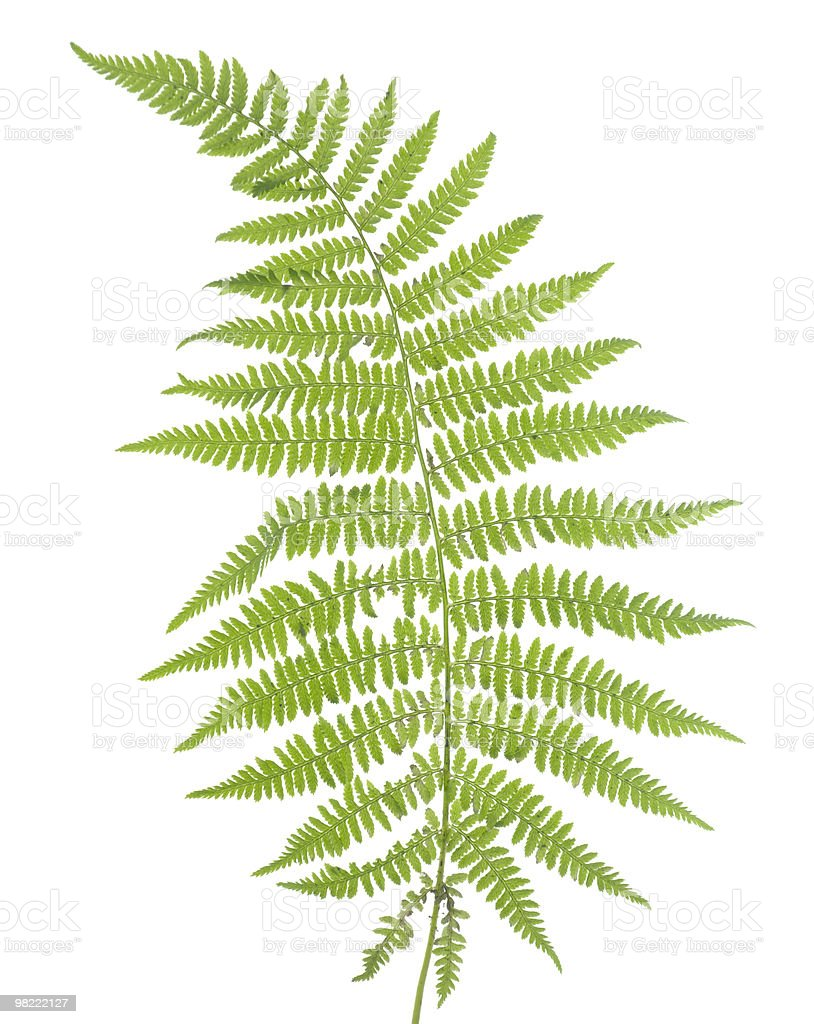 Fern Isolated on a White Background royalty-free stock photo