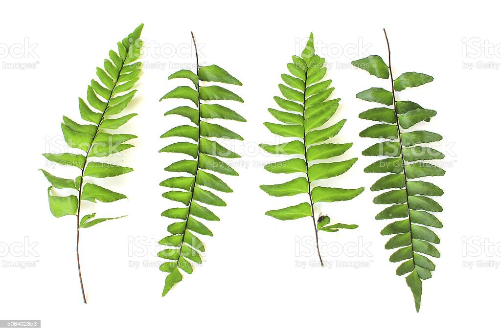 Fern Isolated On White Background Stock Photo & More Pictures of ...