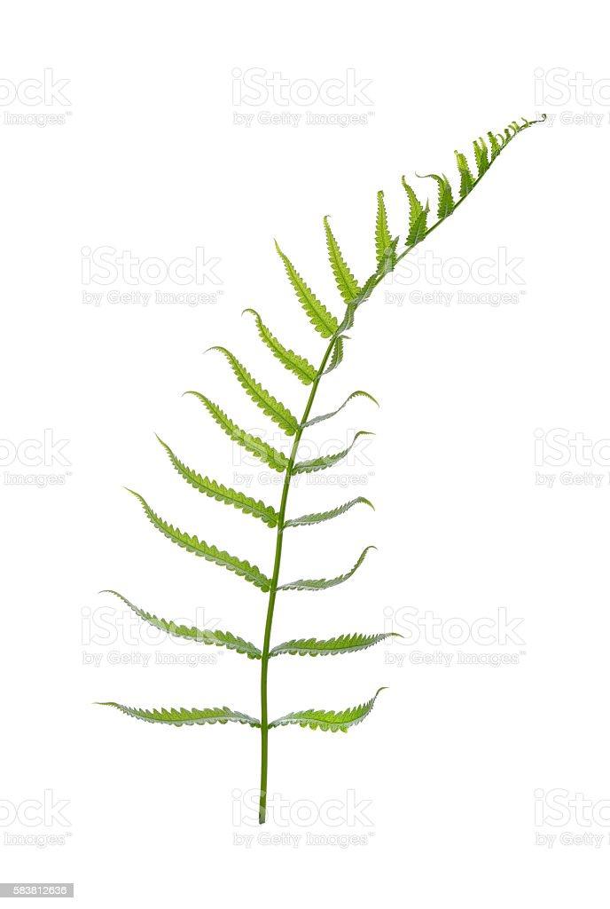 fern isolated on white background stock photo