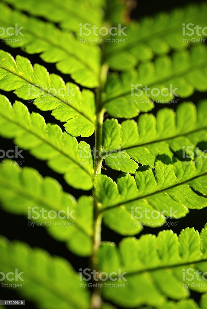 Fern Leaf detail royalty-free stock photo