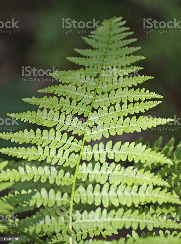 fern leaf green in middle of the undergrowth royalty-free stock photo