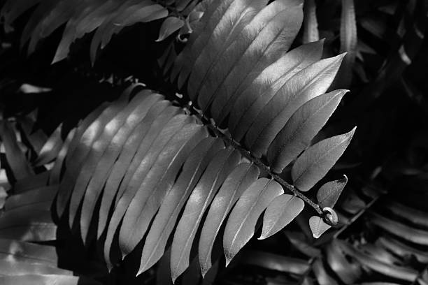 Fern leaf in high contrast black and white stock photo