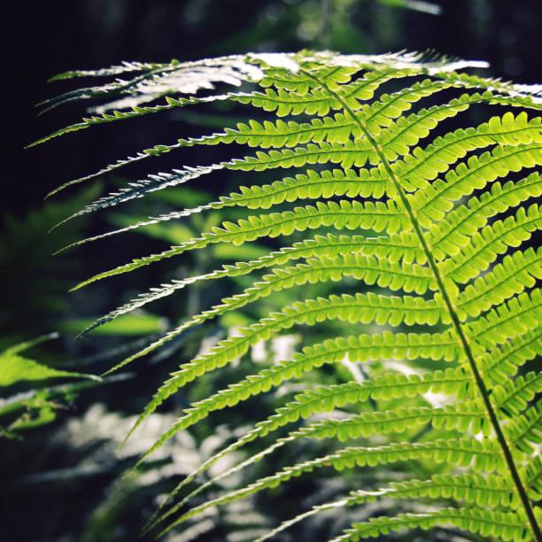 Farn Blatt in den Wald. Gemeinsamen Bracken. Im Sommer – Foto