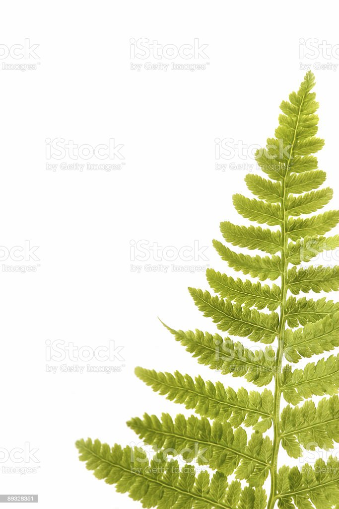 Fern leaf isolated on a white royalty-free stock photo