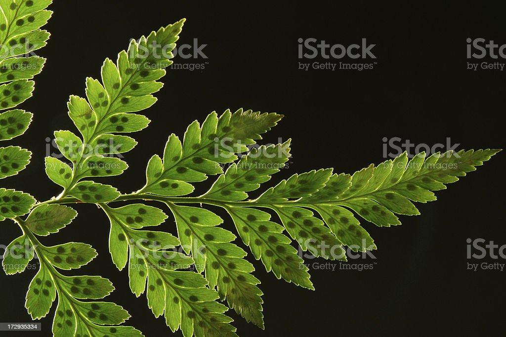 Fern leaf isolated royalty-free stock photo